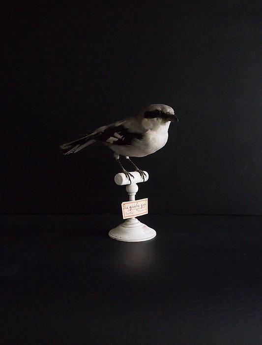鳥の剥製 40 Pie grièche grise