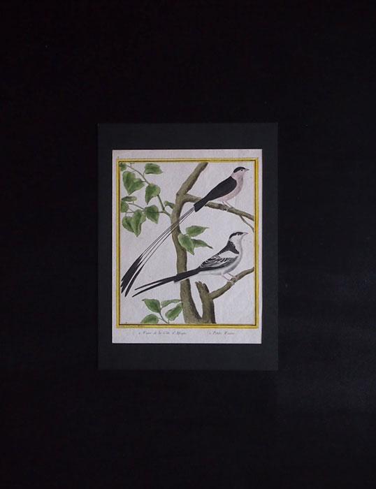 ビュフォンの鳥類史 C Veuve