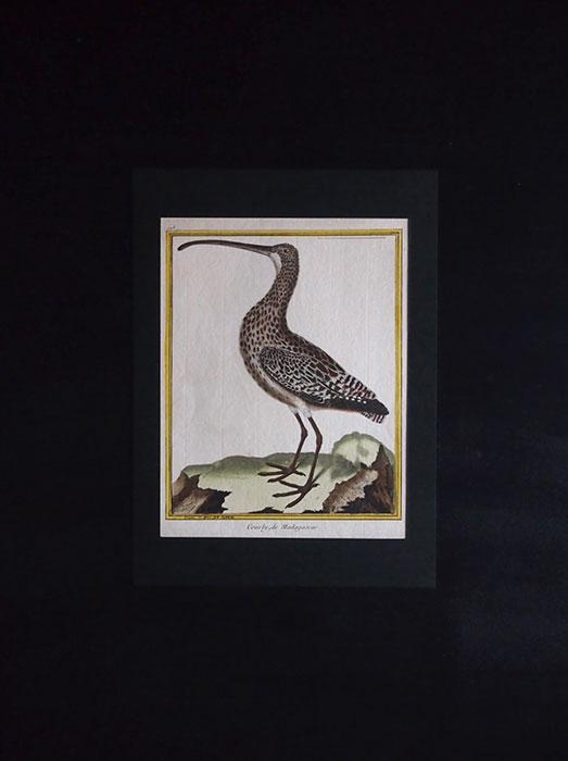 ビュフォンの鳥類史 B Courly