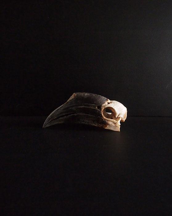 Rhinocéros Buceros 犀鳥の頭蓋骨 3
