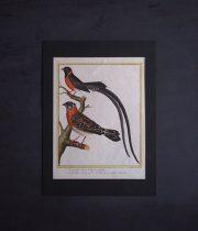 ビュフォンの鳥類史 E  Veuve