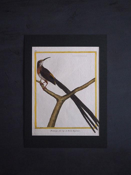 ビュフォンの鳥類史 D  Promerops