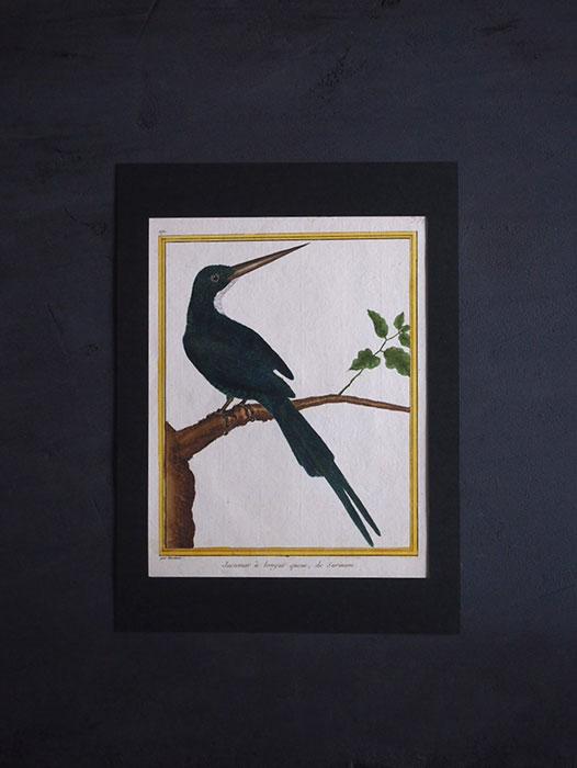 ビュフォンの鳥類史 F  Jacamar à longue queue