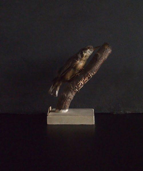 鳥の剥製 43 Sittelle torchepot