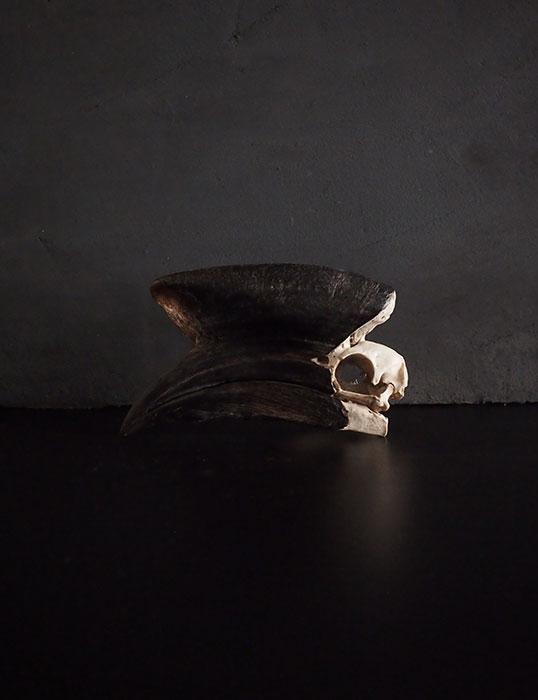 Rhinocéros Buceros 犀鳥の頭蓋骨 4