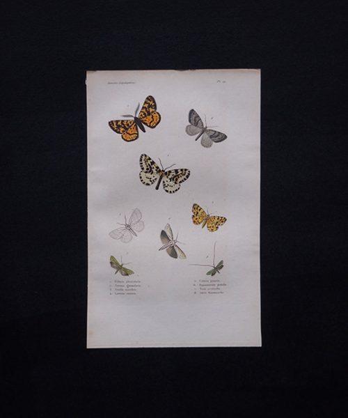 古い蝶の版画 Insectes Lépidoptères 2
