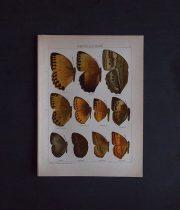 8周年記念サービス品 古い蝶の版画 AMATHUSIINAE