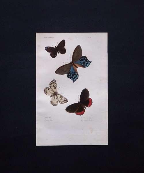 古い蝶の版画 Insectes Lépidoptères 1