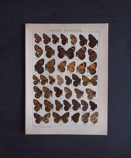 8周年記念サービス品 古い蝶の版画 PARARGE – APHANTOPUS