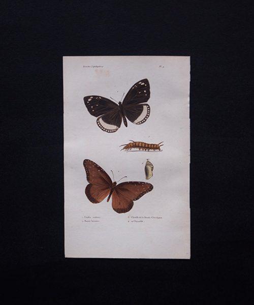 古い蝶の版画 Insectes Lépidoptères 3
