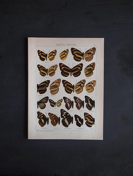 8周年記念サービス品 古い蝶の版画 NEPTIS – ATHYMA