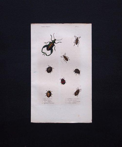 古い甲虫類の版画 Insectes Coléoptéres 2
