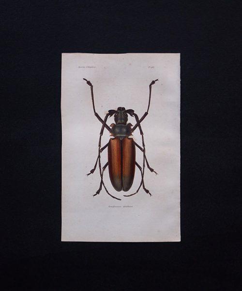 古い甲虫類の版画 Insectes Coléoptéres 1