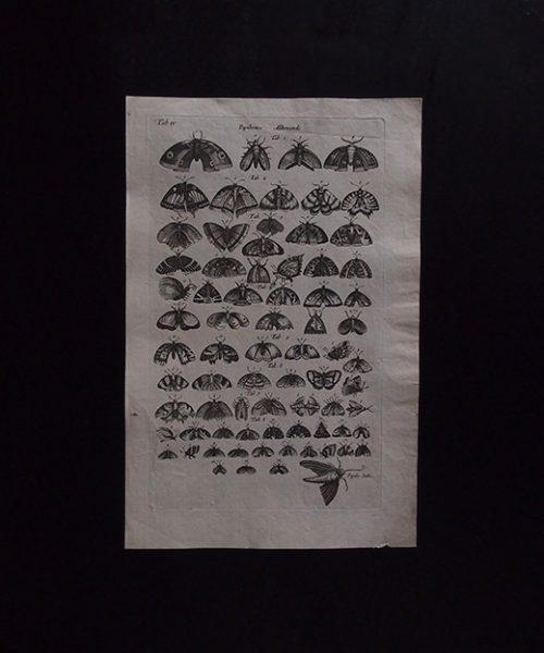 ヨンストンの図版 11 Papillon
