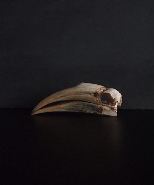 Rhinocéros Buceros 犀鳥の頭蓋骨 5