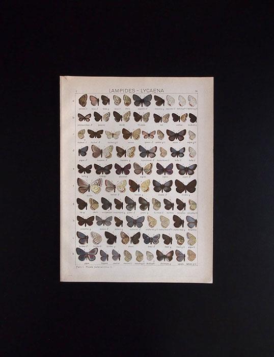 古い蝶の版画 LAMPIDES – LYCAENA