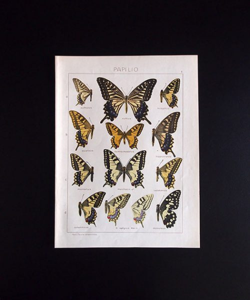 古い蝶の版画 PAPILIO