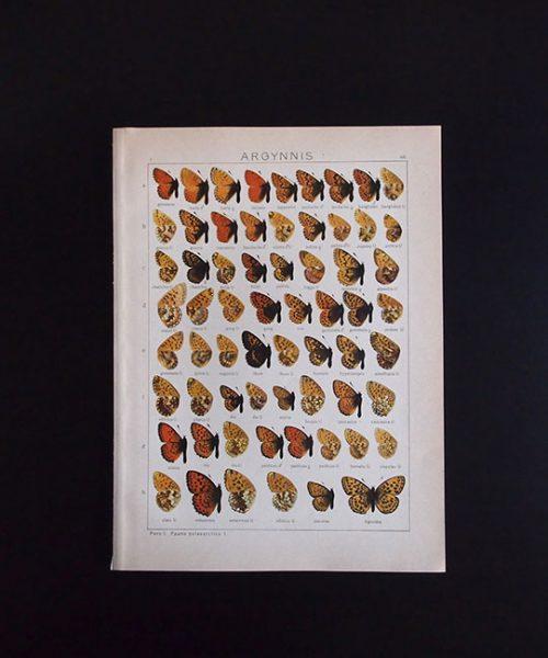 古い蝶の版画 ARGYNNIS 2