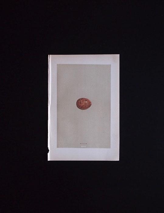 鳥の卵の図版 6