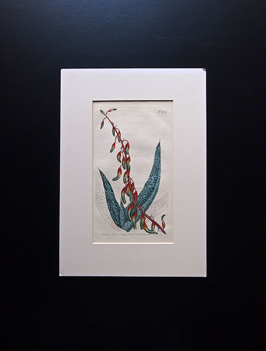 カーティスの植物図版 2