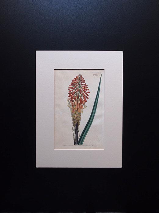 カーティスの植物図版 3