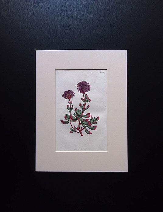 カーティスの植物図版 4