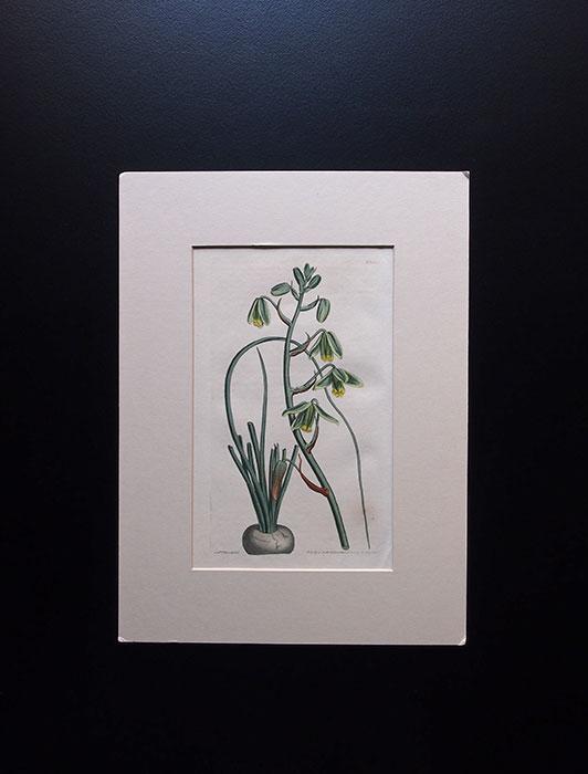 カーティスの植物図版 5