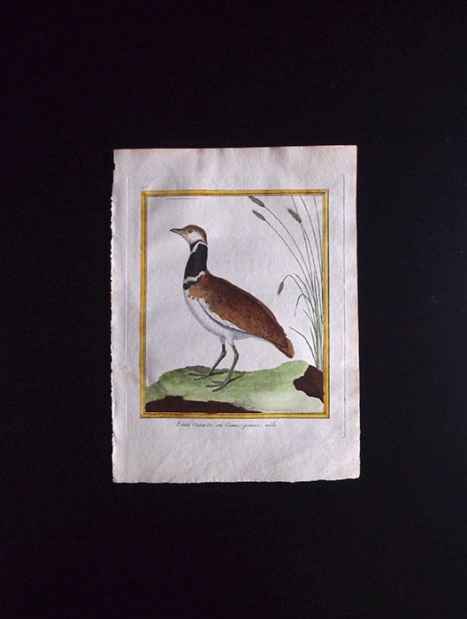 ビュフォンの鳥類史 G  Petite Oularde ou Canne