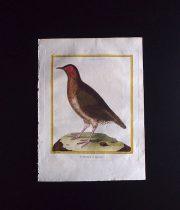 ビュフォンの鳥類史 H   Le Tinamon de Cayenne