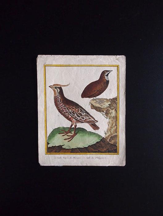 ビュフォンの鳥類史 I  Caille Huppée