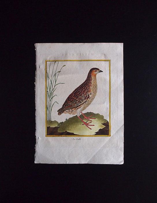 ビュフォンの鳥類史 J  Le Caille