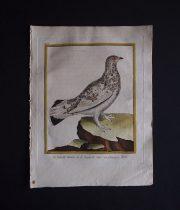ビュフォンの鳥類史 L   Le Lagopede