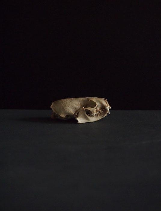ミンクの頭蓋骨  C