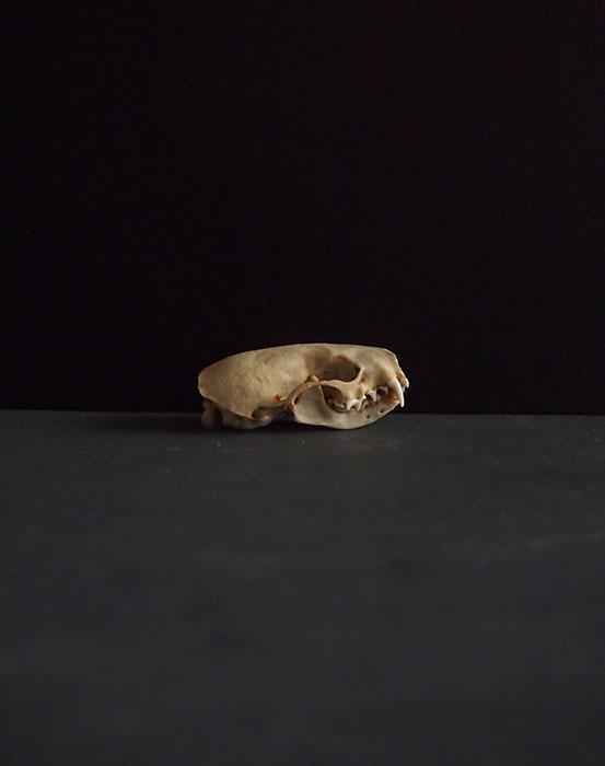 ミンクの頭蓋骨 D