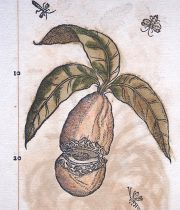 De Materia Medica 薬草の木版画 7