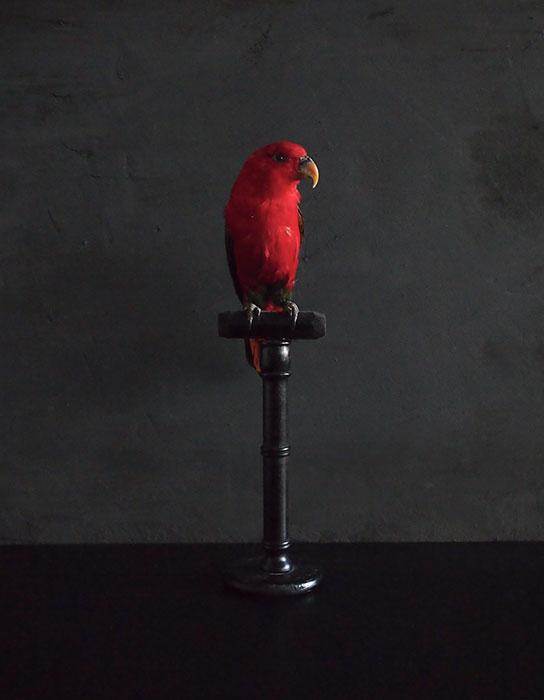 鳥の剥製 46  Lorius Garrulus