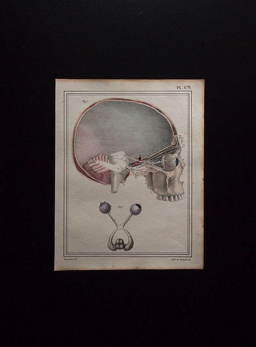人体解剖図 Nerf optique
