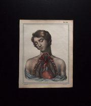 人体解剖図  Le cœur et les organes de la poitrine