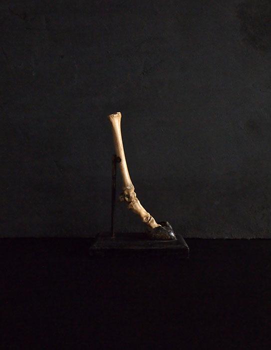 動物の脚の骨格標本 mouton