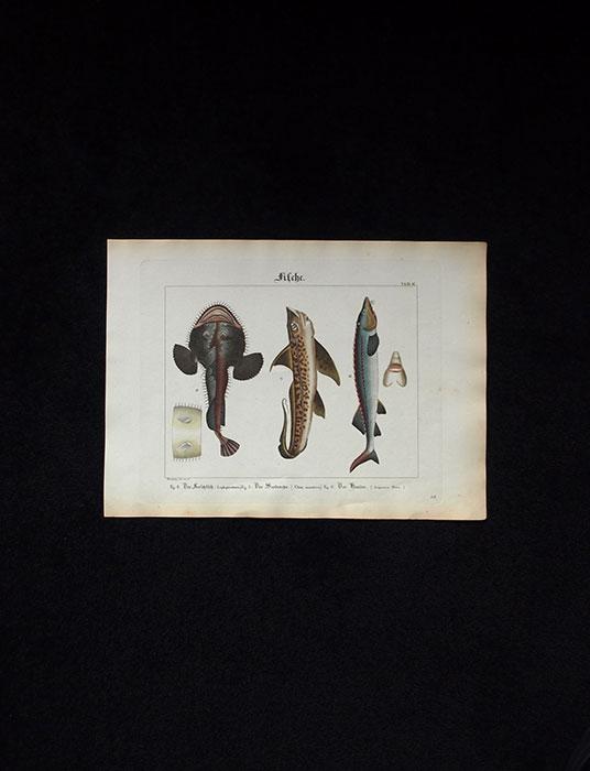 魚類の図版