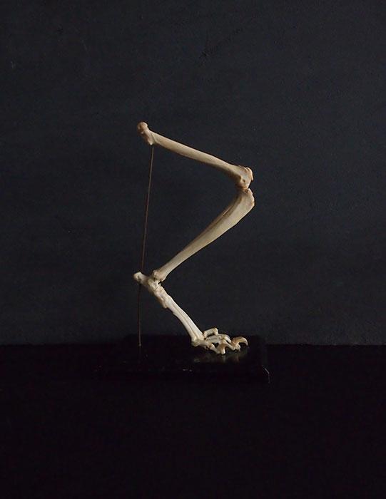 動物の脚の骨格標本  Chat
