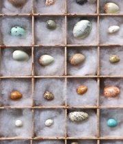 標本箱入り擬似卵標本