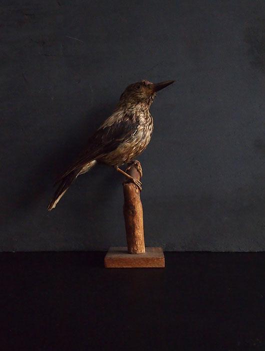 鳥の剥製 47  Nucifraga caryocatactes