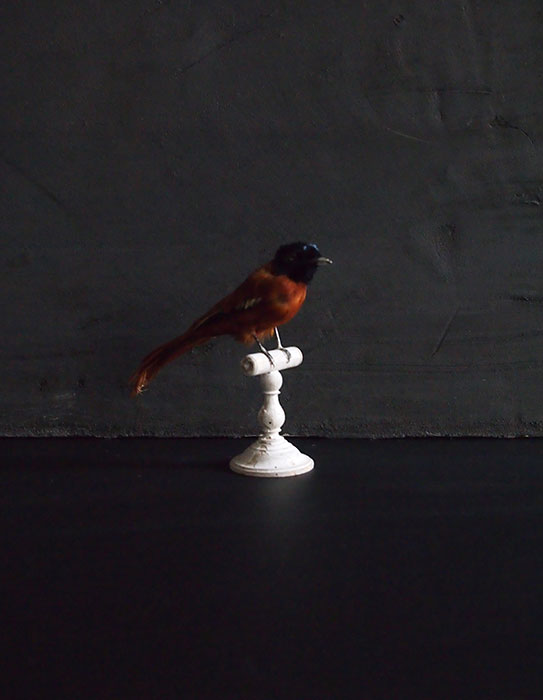 鳥の剥製 39  Terpsiphone atrocaudata