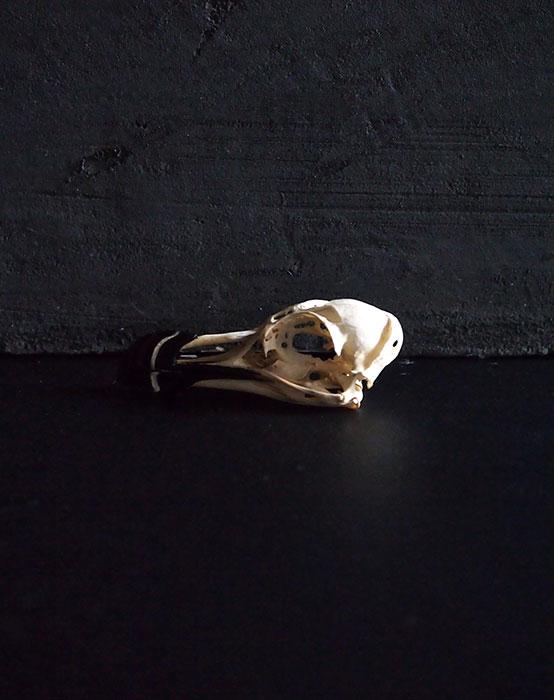 オオハシウミガラスの頭蓋骨