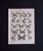 古い蝶の版画  PARNASSIUS