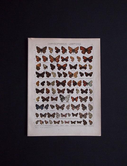 古い蝶の版画 CHRYSOHANUS – LAMPIDES