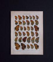 古い蝶の版画 ARGYNNIS
