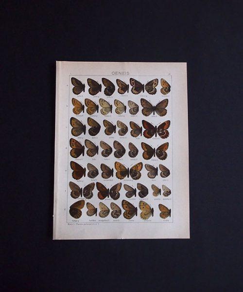 古い蝶の版画  OENEIS