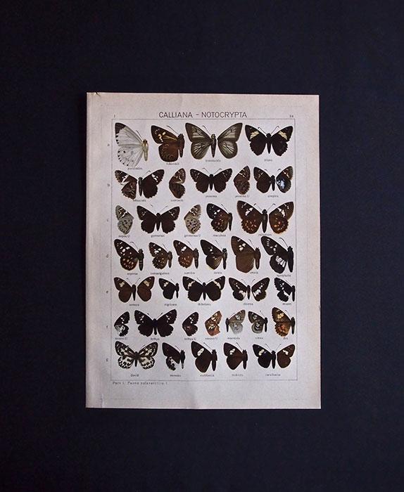 古い蝶の版画  CALLIANA – NOTOCRYPTA